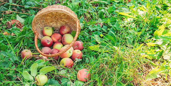 En korg med äpplen på en gräsmatta. Foto: Yana Tatevosian