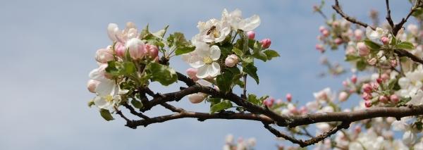 Äppelträd i blom mot blå himmel.